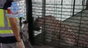 Imagen del tigre albino adulto en el chalet de El Rebolledo (Alicante)