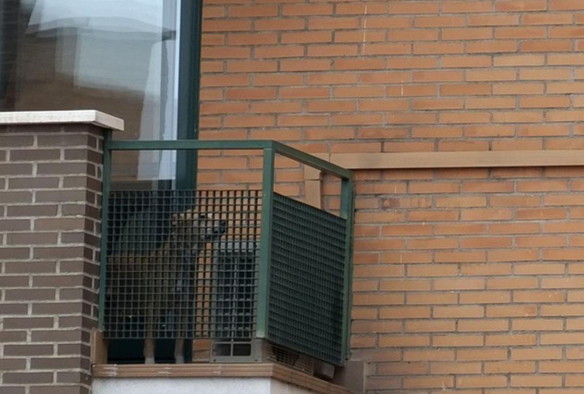 El perro Excalibur, en el balcón del domicilio de Teresa Romero y Javier Limón en Alcorcón.