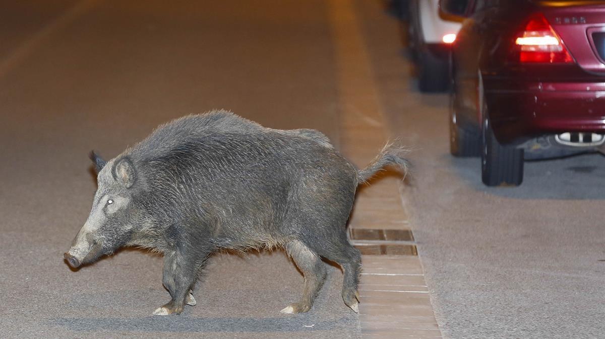 Un jabalí de Collserola, adentrándose en territorio urbano.