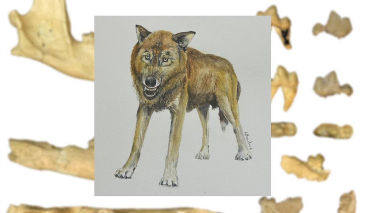 Descubren el fósil de una nueva especie de pequeño lobo en Granada
