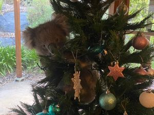 Troben un coala enfilat l'arbre de Nadal al tornar a casa