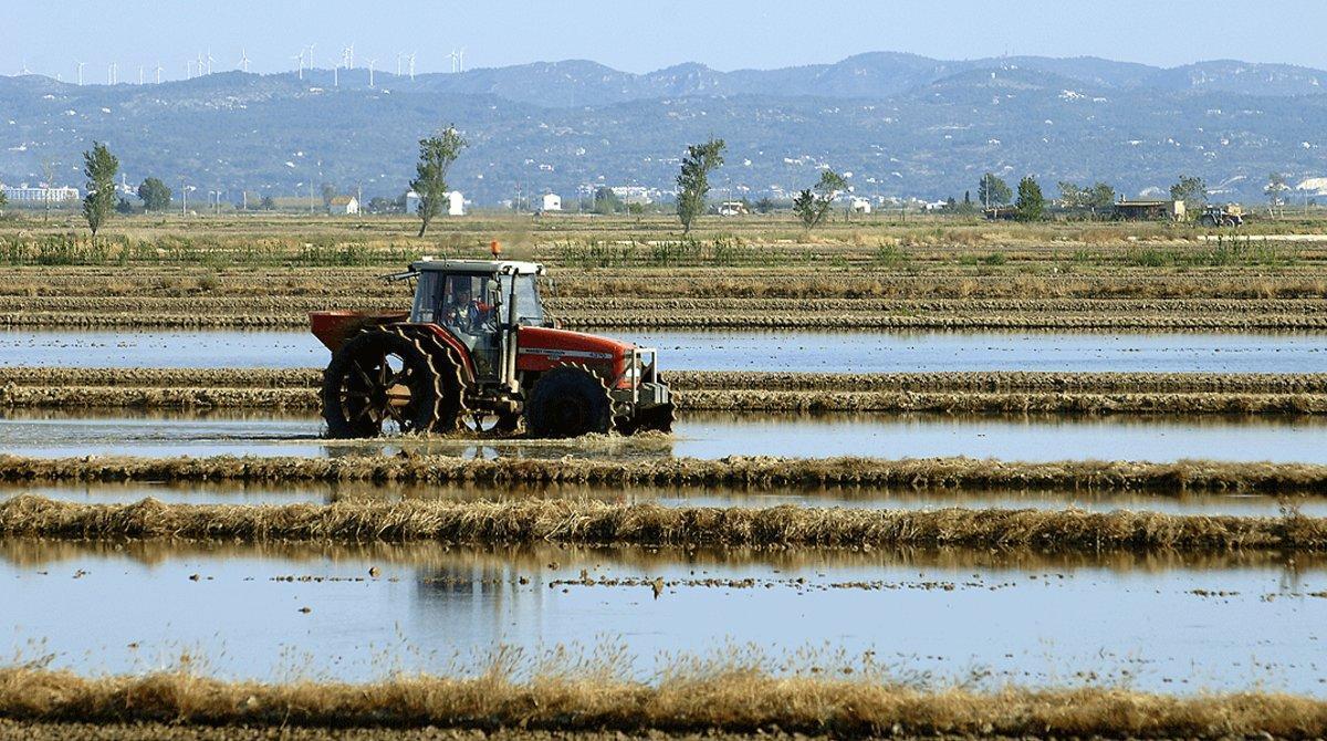 Campo de arroz en el delta del Ebro.