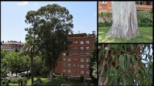 El eucalipto del paseo de la Bonanova, en Barcelona.