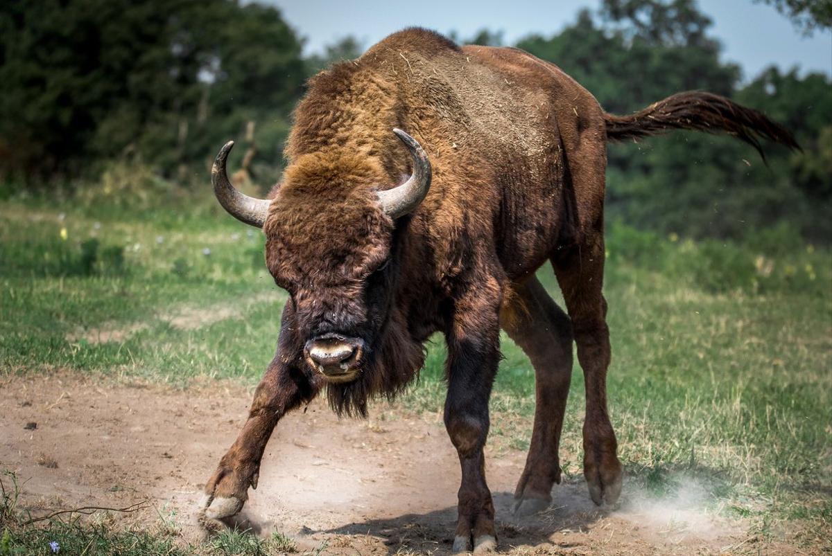 Una manada de bisontes cortan una carretera y uno de ellos embiste un coche