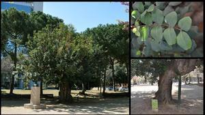 El algarrobo de los jardines del Doctor Castelló, en Sarrià-Sant Gervasi.