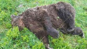 El oso abatido en el Pirineo francés.