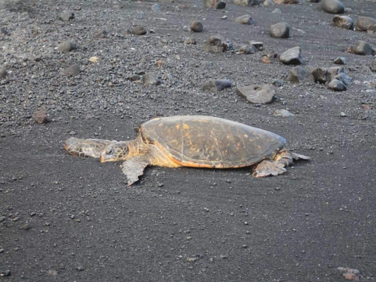 La tortuga verde de Canarias está cambiando de conducta por el turismo