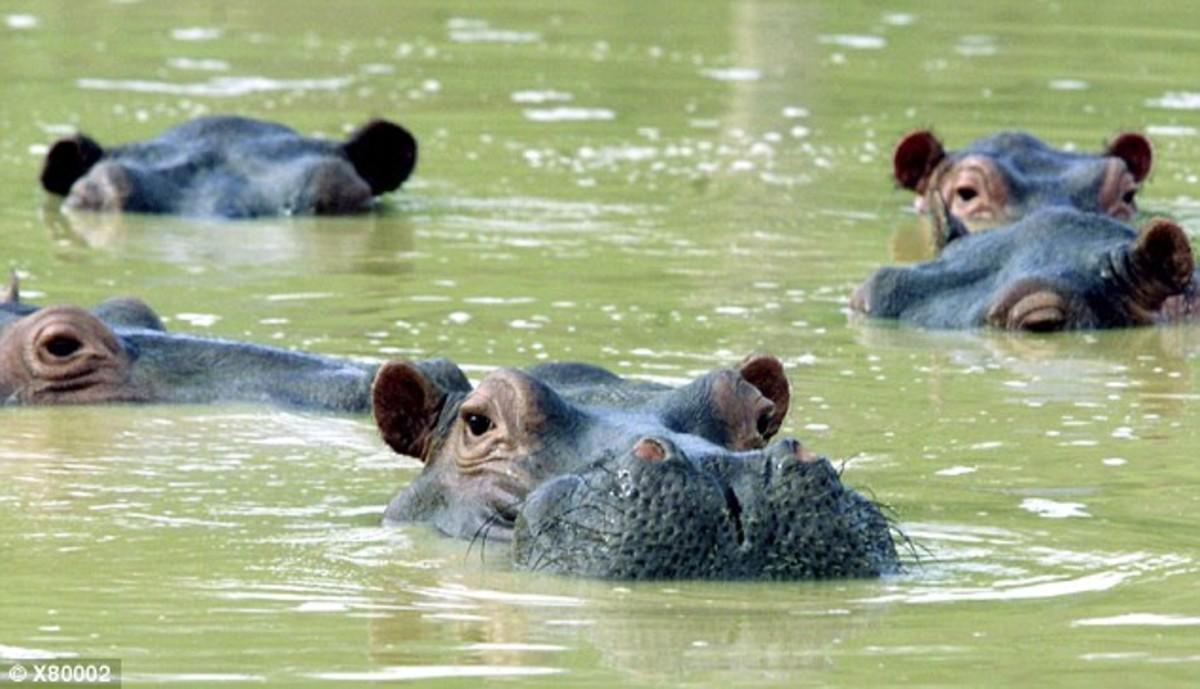 La población de hipopótamos en Colombia se ha descontrolado desde que se escaparon los cuatro ejemplares traídos al país por Pablo Escobar.