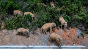 Foto aérea de los elefantes peregrinos en la ciudad de Yuxi, el 29 de mayo