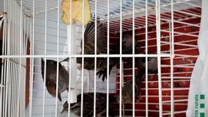 Denuncien un veí de Mataró per vendre ocells protegits a través d'internet