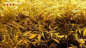 Plantación de marihuana intervenida por los Mossos