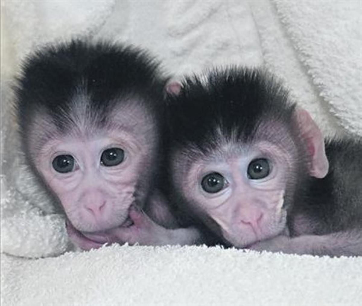 Los macacos Mingming and Ningning, modificados genéticamente y nacidos en la Universidad de Nanjing.