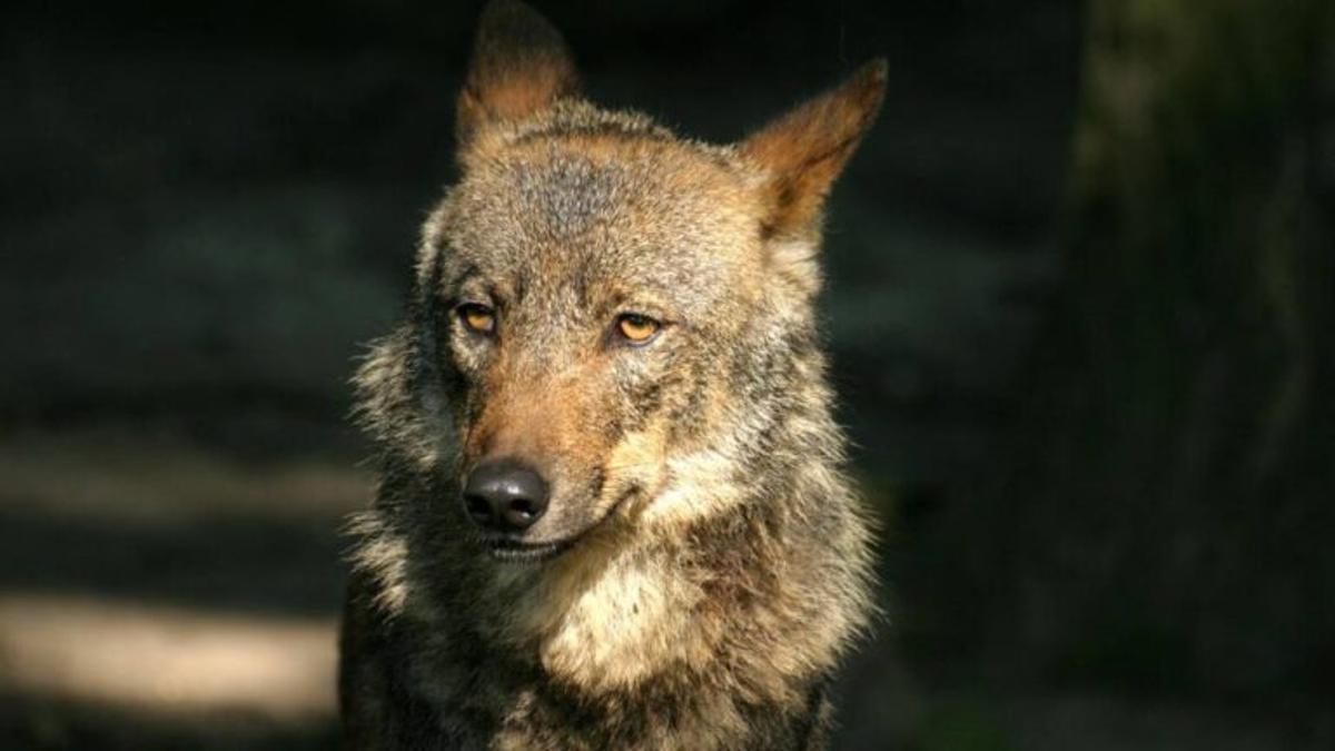 """El Gobierno asegura que """"no hay vuelta atrás"""" en la prohibición de la caza del lobo"""