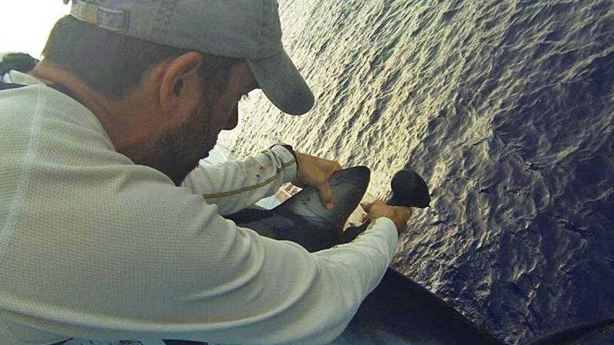 Gonzalo Mucientes, durante el marcaje de un ejemplar de tiburón azul en el Atlántico.