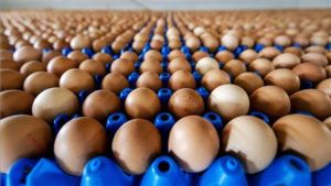 Producción de huevos.