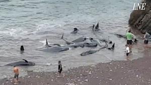 Un grupo de calderones varados en la playa de Carreño (Asturias).