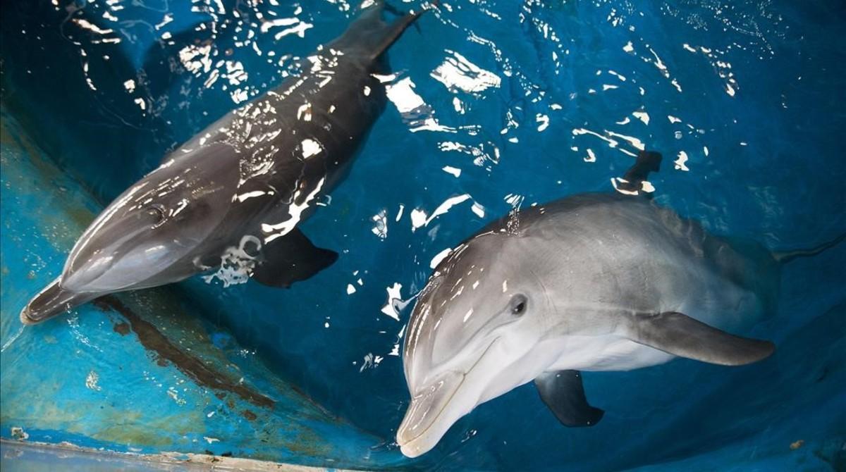 Dos de los delfines del Zoo de Barcelona, en su ya obsoleta piscina.