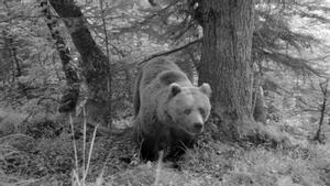 Un ejemplar de oso pardo, captado por las cámaras nocturnas del Conselh Generau d'Aran.