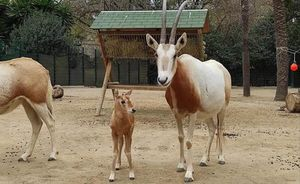 Nace en el Zoo de Barcelona una cría de oryx blanco, especie extinguida en la naturaleza.