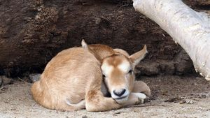 La cría de oryx, aún sin su cornamenta que de adulta la hará temible.