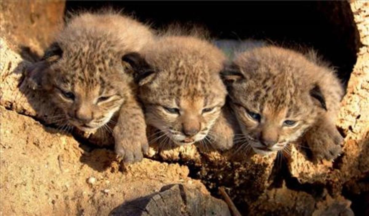 Tres crías nacidas en marzo del 2005 en el centro de cría de El Acebuche, en Doñana.