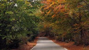 Un bosque de castaños en otoño, en el Montseny.