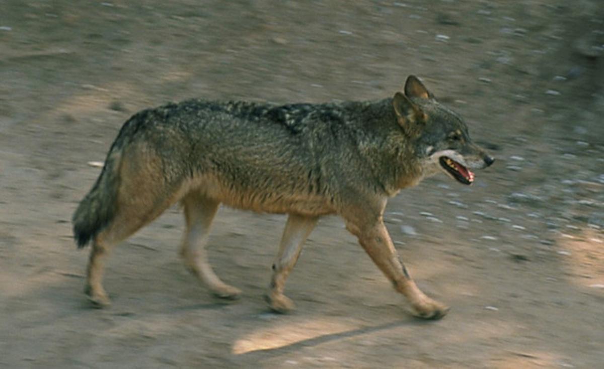 Un dels llops ibèrics que hi ha al Zoo de Barcelona.