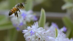 Un 24% de las abejas europeas podrían desaparecer en cinco años