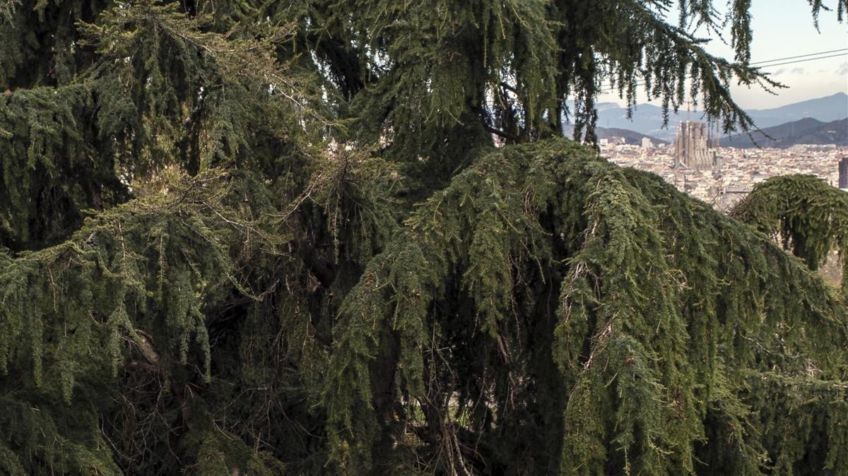 Los 200 000 árboles De Barcelona Retienen Al Año El Agua De 15 Piscinas