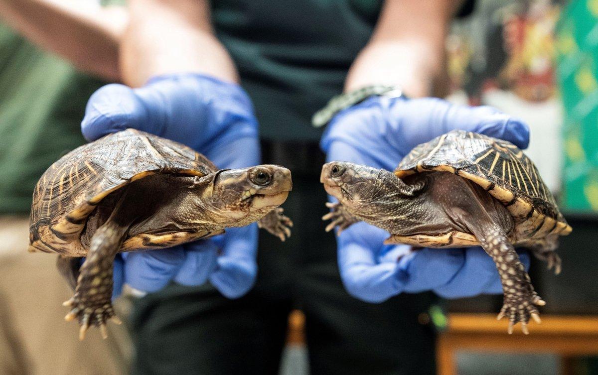 Los expertos aún no saben cómo estas partículas sintéticas entran en las tortugas.
