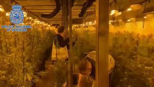Desmanteladas dos plantaciones de marihuana en Madrid y seis detenidos.