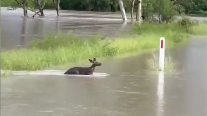 Un canguro nada para salvarse de las inundaciones en Australia