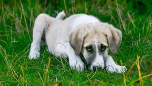 Parvovirus en gossos: com es contagia, símptomes i tractament