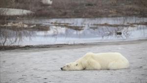 Oso polar en Talnaj, a 500 kilómetros al sur de su hábitat.