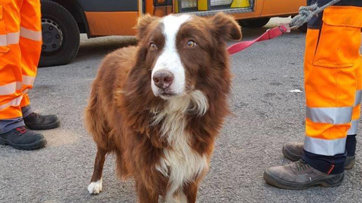 La imagen del perro pastor que ha mostrado en Facebook la policía local de Fogars de la Seva.