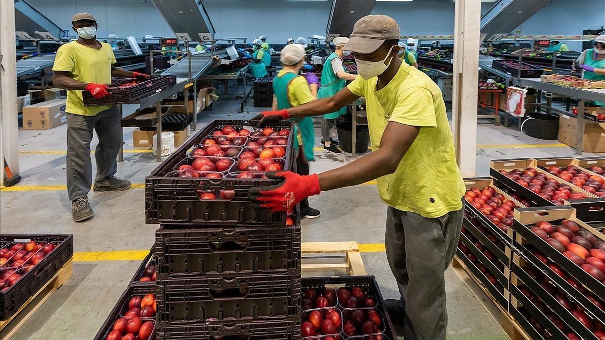 Envasado de fruta en la empresa hortofrutícola Intergolmés, enPla d'Urgell.