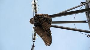 Aves electrocutadas en torres electricasen la comarca de la Noguera en 2018