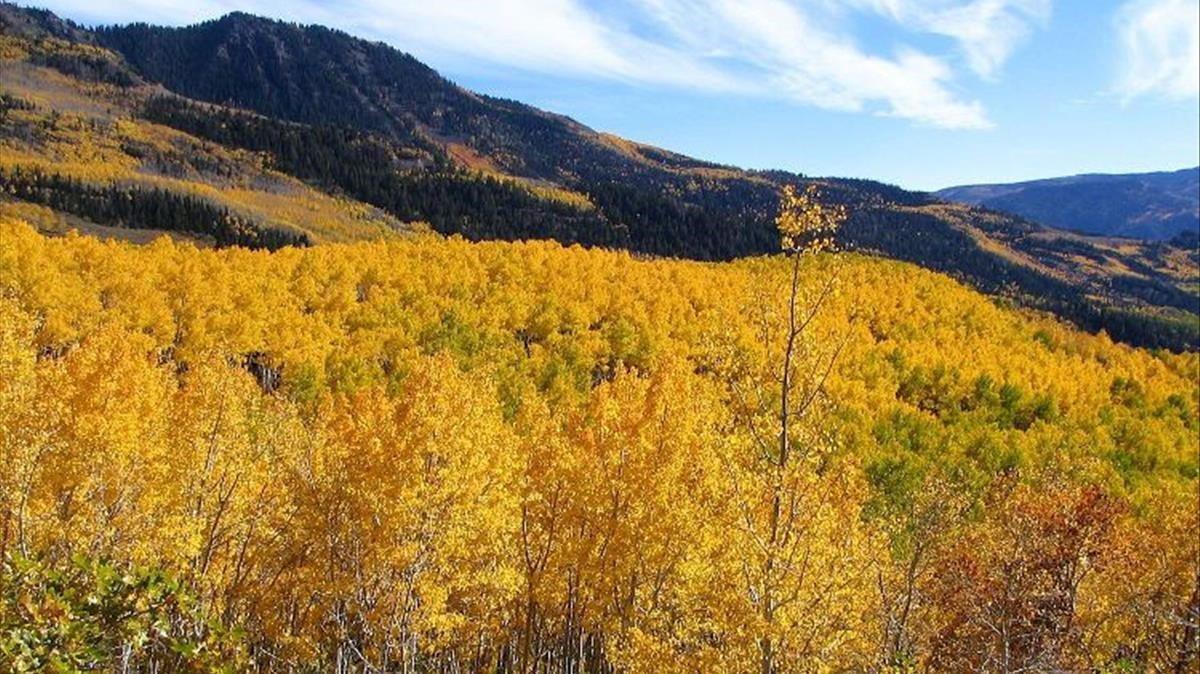 Imagen otoñal del bosque Pando, situado al sudeste del estado de Utah, en Estados Unidos.