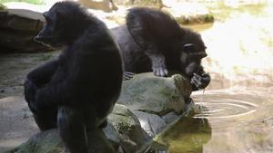 Dos gorilas, en el Zoo de Barcelona.