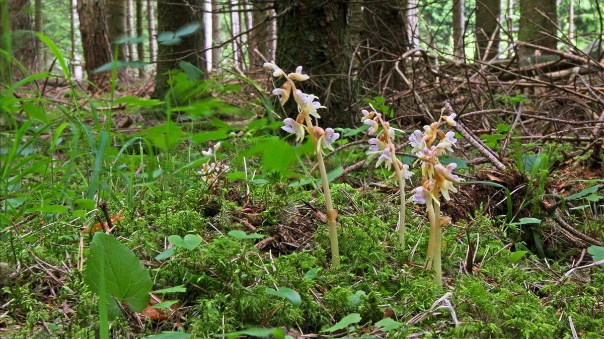 Ejemplares de orquídea fantasma.