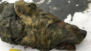 Cabeza del lobo de la Edad de Hielo hallada en la región de Abyysky, en Siberia.