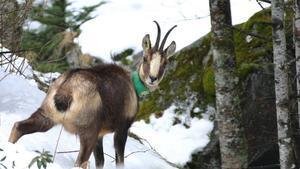 Imagen de un rebeco o sarrio con un collar localizador con GPS en el Pirineo.