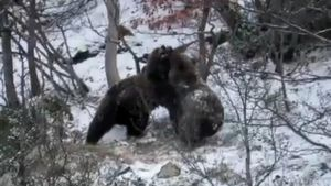 Dos ejemplares jóvenes de oso pardo juegan en la nieve tras la hibernación en el Pirineo.