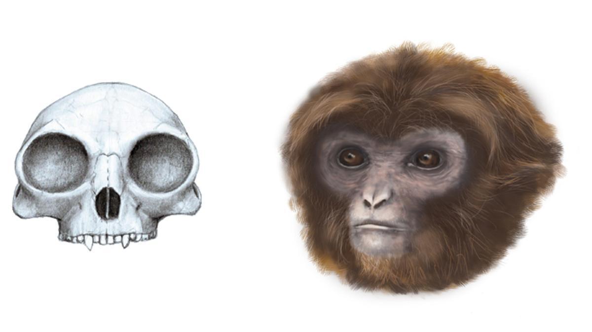 Un simio que habitaba los bosques de Catalunya hace 11,6 millones de años.