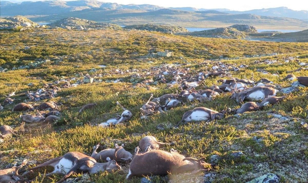Los renos fallecidos en el parque noruego deHardangervidda quedaron esparcidos en un radio de entre 50 y 80 metros.
