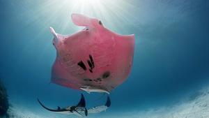 La única mantarraya rosa del mundo.