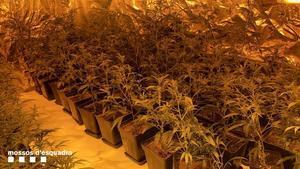 Desmantellades quatre plantacions de marihuana en un mateix edifici del Prat