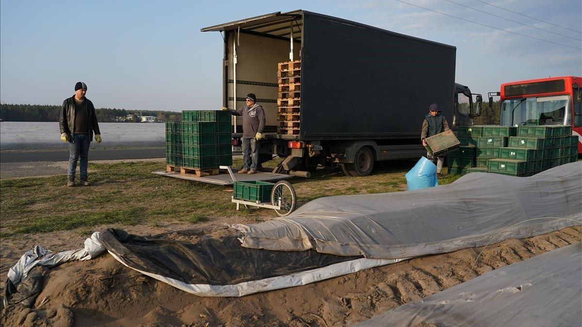 Trabajadores temporeros rumanos trabajan en la recogida del espárragoen la localidad alemana deLuckenwalde.