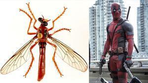 La nueva mosca Deadpool, 'Humorolethalis sergius', suena como humor letal.