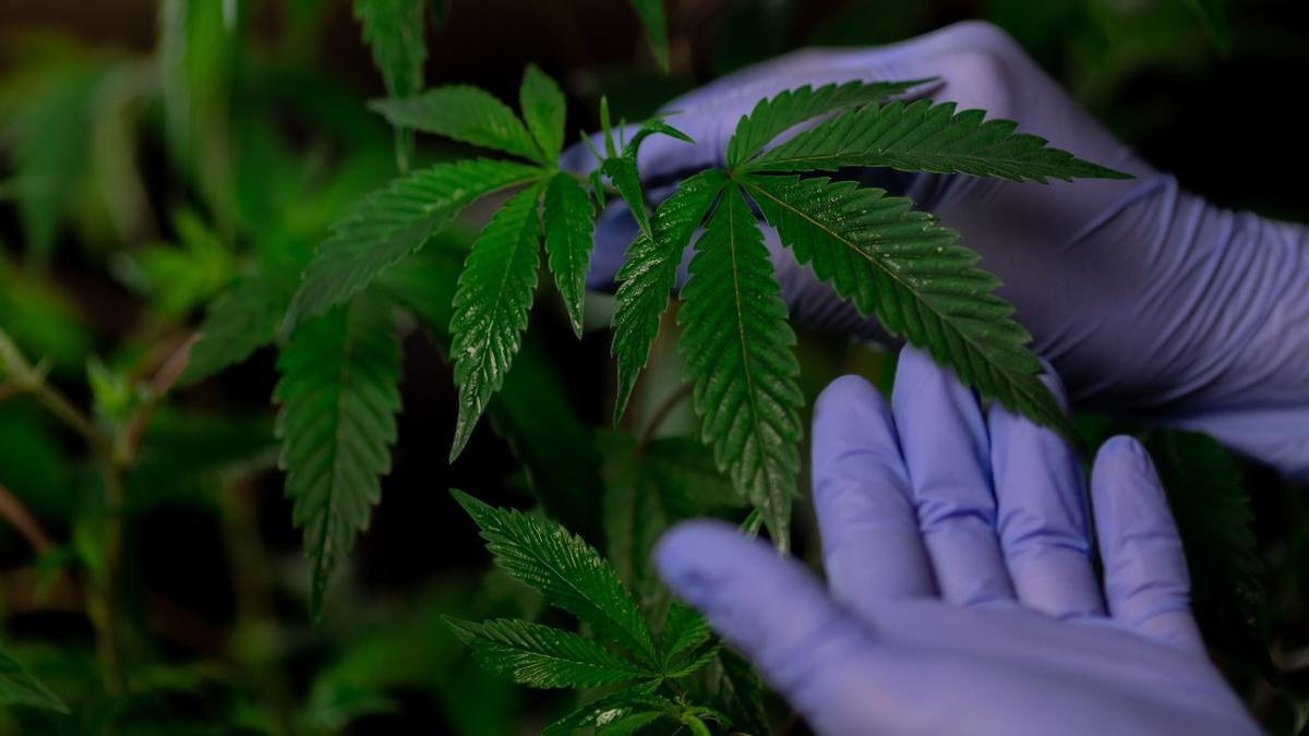 ¿Cuántas plantas de marihuana puedo tener en casa para consumo propio?